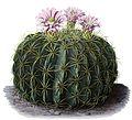 Ferocactus macrodiscus BlKakteenT134.jpg
