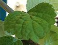 Feuille d'une plante verte à identifier.JPG