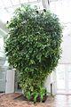 Ficus Sagittata Variedata (1) (11983285863).jpg