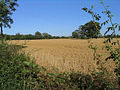 Field of wheat in Eastham - geograph.org.uk - 213995.jpg