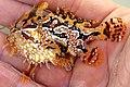 Fish4283 - Flickr - NOAA Photo Library Histrio histrio.jpg