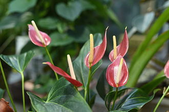 Anthurium - Image: Flamingo Flower Orchid