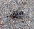 Flesh Fly. Sarcophaga sp. male. - Flickr - gailhampshire.jpg