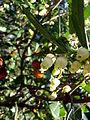 Fleurs d'Arbousier (Arbutus unedo).JPG