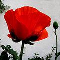 Flickr - Per Ola Wiberg ~ mostly away - vallmo ~ poppy.jpg