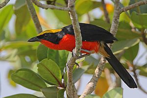 Bushshrike - A yellow-crowned gonolek (Laniarius barbarus) in Gambia