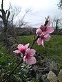 Flor de Prunus persica (paraguayo).jpg