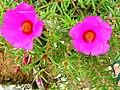 Flor meio dia - panoramio.jpg