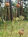 Flores en el pinar de hoyocasero.jpg