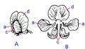 Flower of Pisum sativum ro.png