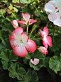 Flowers - Uncategorised Garden plants 131.JPG