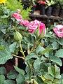 Flowers - Uncategorised Garden plants 202.JPG