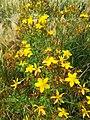 Flowers Velichovky Hypericum perforatum.jpg