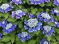 Flowers of Hydrangea macrophylla 20200615-2.jpg