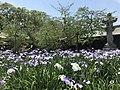 Flowers of Iris and Kanhi-zakura cherry tree in Miyajidake Shrine.jpg