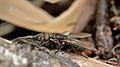 Fly (Diptera) - Guelph, Ontario 03.jpg