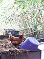 Foraging chicken - geograph.org.uk - 1506087.jpg