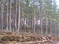 Forest near Killiehuntly - geograph.org.uk - 831613.jpg