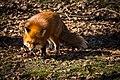 Fox (28142584330).jpg