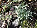 Fritillaria and Snow Drops in our Front Garden - Flickr - brewbooks.jpg