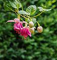 Fuchsia 'Rose of Denmark' 01.jpg