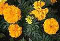Funchal Botanical garden Tagetes patula IMG 1775.JPG