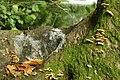 Fungus, Clandeboye Wood (13) - geograph.org.uk - 967878.jpg
