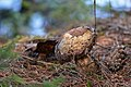 Fungus - Algonquin Provincial Park, Ontario 03.jpg