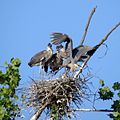 GB Heron family (19209437836).jpg