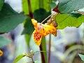 GOC Radwell-Rivers and Meadows 045 Orange Balsam (Impatiens capensis) (9964349205).jpg