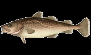 Pacific cod - Image: Gadus macrocephalus