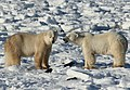 Gaiter and Earring, two polar bears (6379493635).jpg