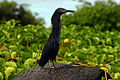 Galápagos (lava) heron (Butorides sundevalli) young adult.JPG