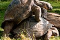 Galapogos turtles in love (3938459480).jpg