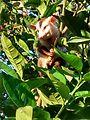 Gambá-de-Orelha-Branca (Didelphis albiventris) 03.jpg