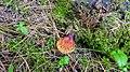 Ganoderma lucidum 74991073.jpg