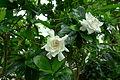 Gardenia augusta 'Miami Supreme'.JPG