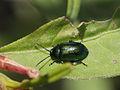 Gastrophysa viridula (Chrysomelidae) - Green Dock Beetle (9632995677).jpg