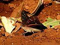 Gaudy Baron Euthalia lubentina Male UN by Dr. Raju Kasambe DSCN1050 (7).jpg