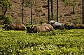 Gaur Bos gaurus in tea field in Valparai JEG8034.jpg