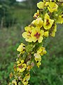 Gele Bloom 2 an'n Bullenbarg bi Nindörp 07.jpg