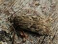 Gelechia muscosella - Grey sallow groundling (27032858968).jpg