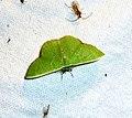 Geometrid. Emerald - Flickr - gailhampshire.jpg