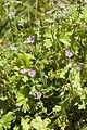Geranium molle velennes 80 10062008 1.jpg