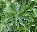Geranium pratense jd plt.jpg