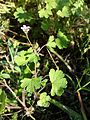 Geranium rotundifolium sl24.jpg