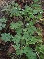 Geranium sibiricum.JPG