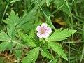 Geranium sibiricum2.jpg