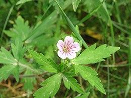 Geranium sibiricum2