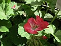 Geranium single from Lalbagh flower show Aug 2013 7910.JPG